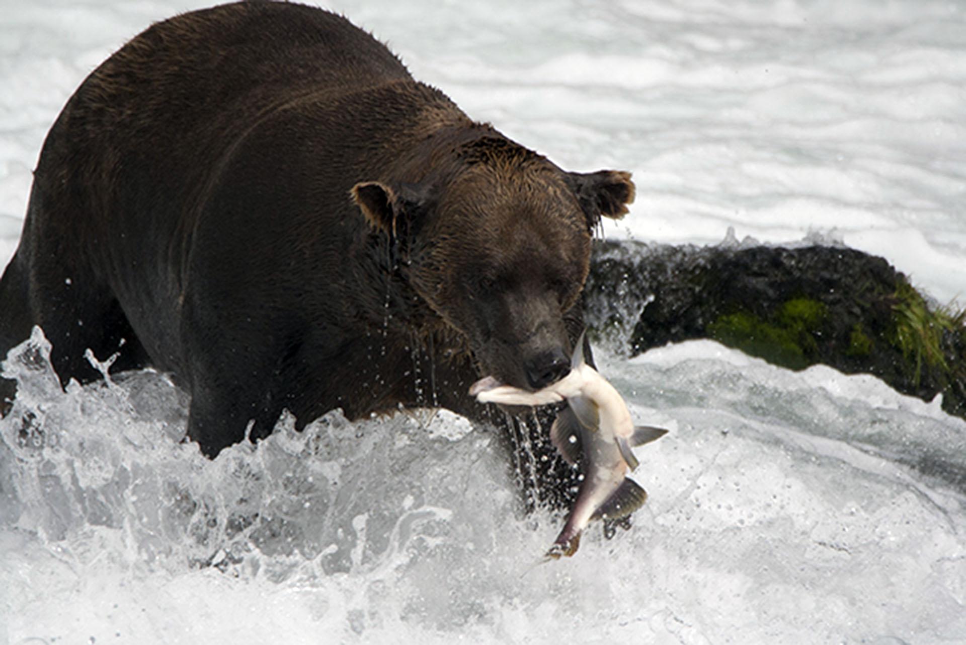 Grizzly Bear AK